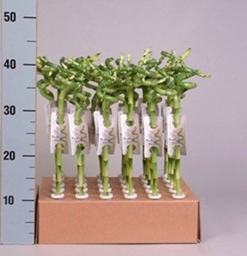 40-cm-lucky-bamboo-squiggle-plant-pack-of-3