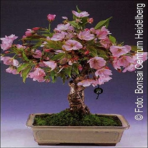 tropica-bonsai-cerisier-ornemental-prunus-serulata-30-graines