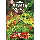 Semi - Mimosa Pudica