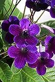 Blühende Zimmerpflanze fleischle Targa ein Perfekte Geschenkidee für besondere Anlässe