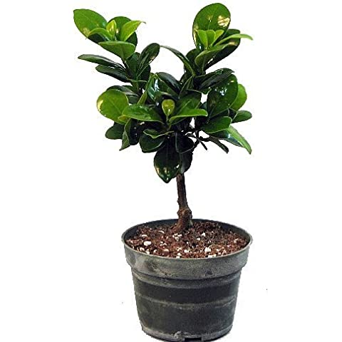 'Green Island' Ficus Pre-Bonsai Tree - 4