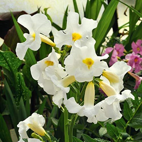 KEBOL Garten-Gloxinie Incarvillea | Gartenschönheit | weiß | 3er Pack Blumenzwiebeln