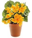 Closer 2 Nature - HBC009YE, Begonia finta con fiori gialli, altezza: ca. 24 cm [Vaso non incluso]