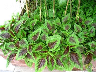Livraison gratuite 50 Pcs Amaranthus Tricolor Graines de Early Splendor Herbe, des semences de légumes rares Plante en pot comestible Bonsai santé 13