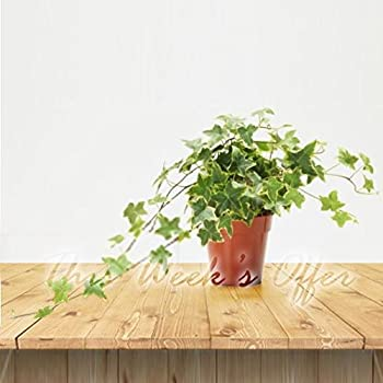 1 English Ivy Hedera Hhelix Climber Plant in PVC Pot