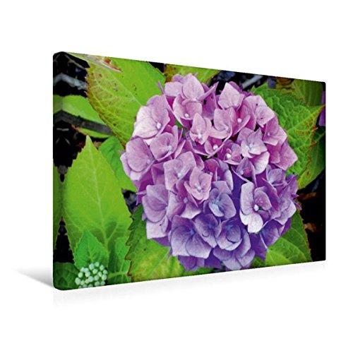 Calvendo Premium Textil-Leinwand 45 cm x 30 cm Quer, Zweifarbige Hortensie | Wandbild, Bild auf Keilrahmen, Fertigbild auf Echter Leinwand, Leinwanddruck: Schöne Blüte in Rosé und Lila Natur Natur - Hydrangea-bilder Lila