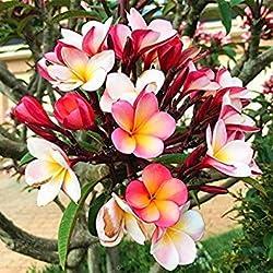 Virtue 50 Stücke Hausgarten Frangipani Mischfarbe Plumeria Rubra Blumensamen Dekoration Romantik Ei Blumen Bonsai Pflanze Hausgarten 10