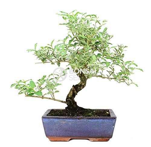Bonsai - Aligustre chino, 8 Años (Bonsai Sei - Ligustrum Variegata)