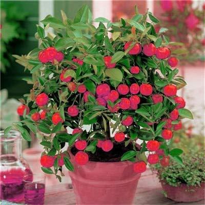 AGROBITS Bonsai Piante 50 pezzi all'aperto limone alberi da frutto in vaso Balcone Giardino Piantare organici Frutta Albero succulente per Flower vaso: 13