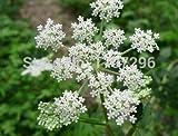 semi di angelica, la cura della salute delle donne, Dang Gui --Chinese erba tradizionale, renderà più sano - 10 pc / lotto