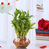 SMZ BRANDLINES 2 Layer Lucky Bamboo Plant with Big Round Glass Pot with 7 Colour Jelly/Crystal Ball