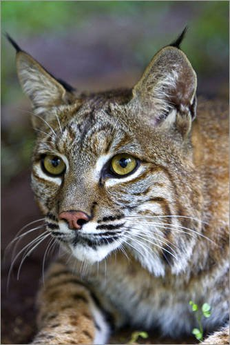 acrylglasbild-20-x-30-cm-portrait-of-a-bobcat-lynx-rufus-von-karine-aigner-national-geographic