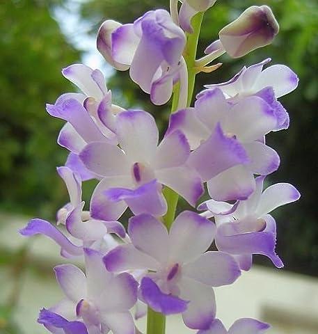 Rhynchostylis coelestis - Orchideen - 100 Samen