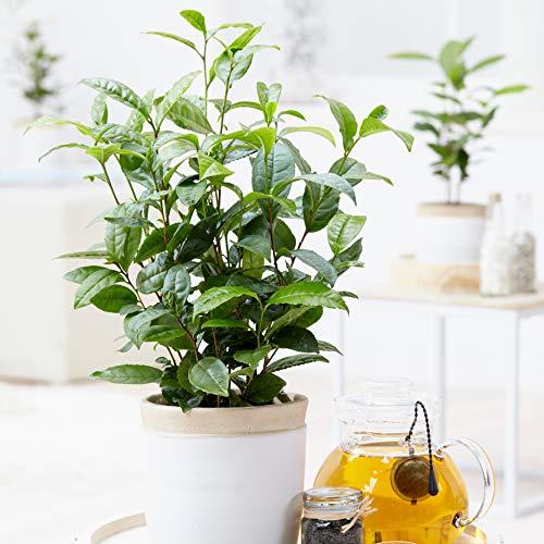 You Garden Limited Grow Tea (Camellia sinensis) 2L Plant 50cm Tall Shrub, Green