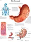 3B Scientific The Stomach Chart