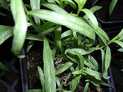 Kräuterey: Estragon französischer - Artemisia dracunculus v. sativa - Pflanze - Bioland von Kräuterey auf Du und dein Garten