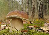 Gemeiner Steinpilz–Myzel–Pilze Forest–Grow Your Own Pilze.