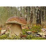 Bolet Edulis–Mycélium–champignons Forêt–cultiver vos propres champignons.