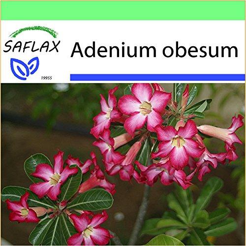 SAFLAX - Garden to Go - Rosa del deserto - 8 semi - Adenium obesum