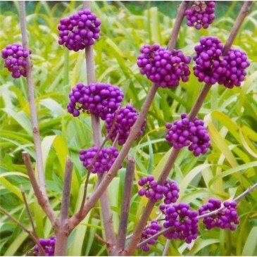Liebesperlenstrauch 10 Samen, Callicarpa (Beautyberry)