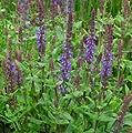 """lichtnelke - Salbei (Salvia nemorosa """" Blaukönigin) von Lichtnelke Pflanzenversand auf Du und dein Garten"""