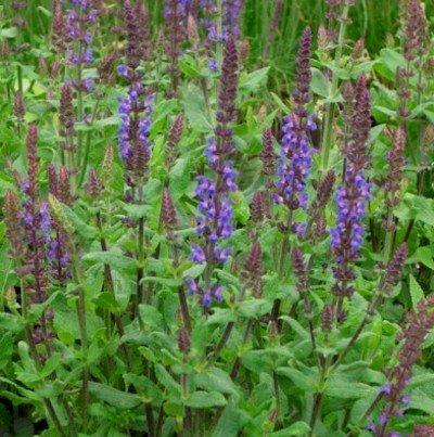 "lichtnelke - Salbei (Salvia nemorosa "" Blaukönigin)"