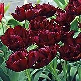 10 x Tulipe Double Tardive Uncle Tom (Oncle Tom) - Tulipe à Fleurs de Pivoine - Bulbe Vivace