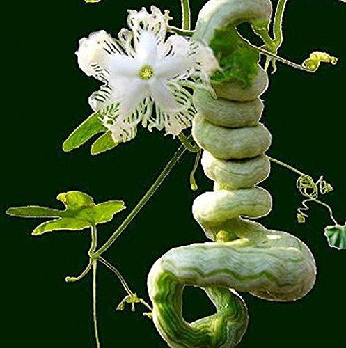 Serpent Gourd Seed lange wie Schlange Obst und Gemüse über 1,5 m Kürbis-Samen Jahreszeiten leicht Snake Beans Essbare