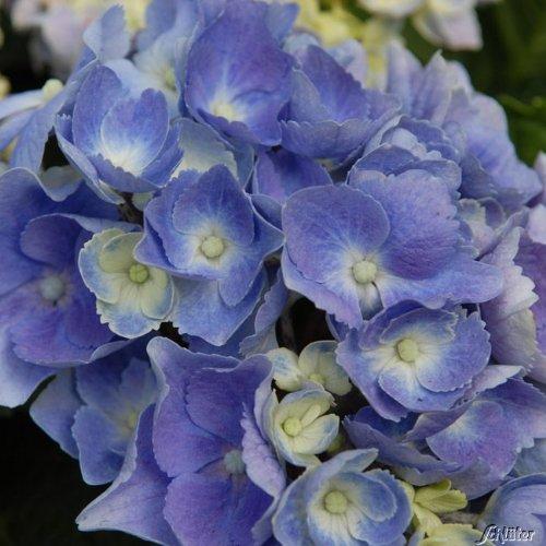 BCM Einzigartige, zweifarbige Blüten
