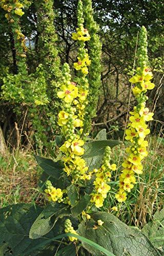 VISA STORE Withania somnifera (Ginseng indio Ashwaganda) 100 semillas