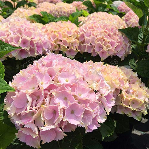 50 pc hydrangea paniculata vaniglia fraise ortensia bonsai bonsai bonsai del fiore pianta in vaso per piante di giardino domestiche: 14