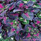 PLAT FIRM-SEEDS Erbstück 200 Samen Lila Perilla purpurea rot Shiso Japanese Basilikum Schatten liebende Laub Pflanze Rot Kräuter Blume