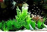Mühlan - Wasserpflanzen Mittelgrundmix, 4 Bund Aquarienpflanzen + 4 Wasserpflanzentöpfe inkl. Wasserpflanzendünger