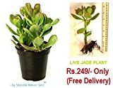 """#4: Vamsha Nature Care LIVE PLANT CRASSULA OVATA, 8"""" Height, commonly known as JADE PLANT, friendship tree, lucky plant, or money tree, is a succulent plant"""