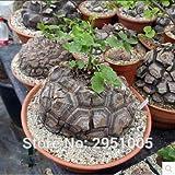 Pinkdose 3pcs Turtle Back, Piede di Elefante, Hottentots' Pane (Dioscorea Elephantipes) Bonsai Home Garden T003