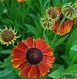 Sonnenbraut Sahins Early Flowerer - Helenium cultorum