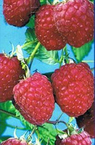 himbeere-rubus-idaeus-malling-promise-beliebte-sommerhimbeere-grosse-fruchte