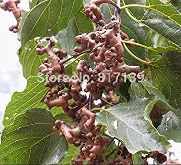 SANHOC Las Semillas del Paquete: HOO Productos- de Semillas 30 Semillas Frescas Verdes pasas japoneses Semillas, Hovenia Dulcis, Hardy! Mares sembrar Semillas de Frutas a estrenar!