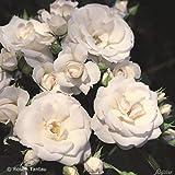 Rose 'Aspirin Rose®' - Beetrose weiße Blüten - Weiße Rose Pflanze Winterhart Halbschattig gesundes Laub - von Garten Schlüter - Pflanzen in Top Qualität