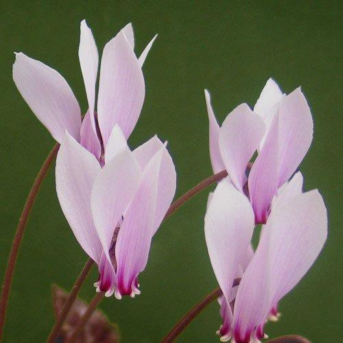 Plant World Seeds - Cyclamen Hildebrandii Seeds
