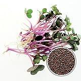 100 g BIO Keimsprossen Rosa Kohlrabi Samen für die Sprossenanzucht