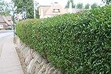 Ligusterhecke (Gemeiner Liguster) Heckenpflanzen für ca. 7 m Hecke (25 Pflanzen, Liefergröße: 50-80 cm)