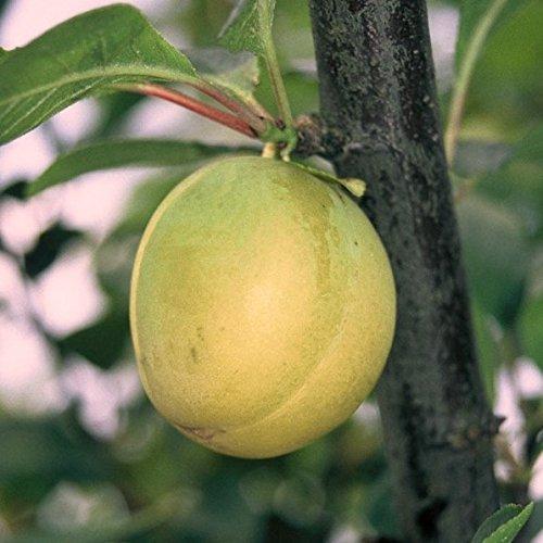 Pflaumenbaum Ontariopflaume gelbe Eierpflaume Hochstamm 180 cm Stamm wurzelnackt Unterlage: St.Jul.A
