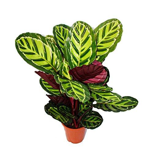 XXL-Schattenpflanze mit ausgefallenem Blattmuster - Calathea roseapicta - 19cm Topf - ca. 60-80cm hoch