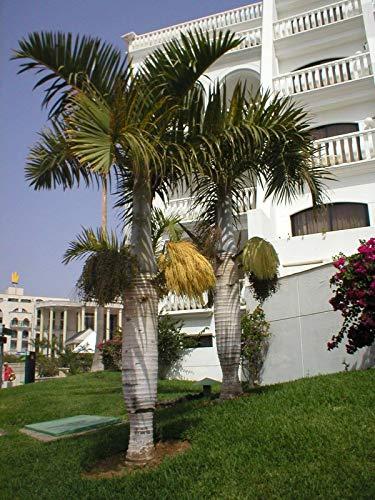 Portal Cool Spindel Palm - Hyophorbe Verschaffeltii - 10 Samen Tropicals