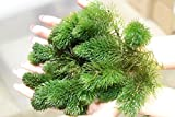Portion Hornkraut (Ceratophyllum demersum) Unterwasserpflanze Teichpflanzen Teichpflanze Schwimmpflanzen