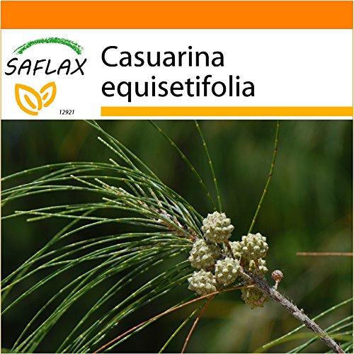 Galleria fotografica SAFLAX - Garden in the Bag - Casuarina comune - 200 semi - Casuarina equisetifolia