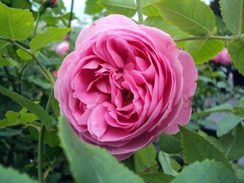 Historische Rose Louise Odier Containerrosen im großen 7,5 Liter Topf