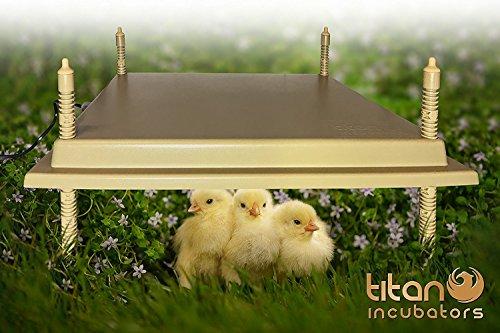 Chioccia incubatrice 40 x 50 cm