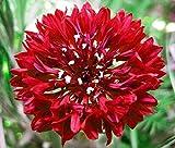 ScoutSeed 50 Semi/Semi: Fiordaliso Red Boy 50 Semi TESTATI - Centaurea CYANUS Semi di Cereali